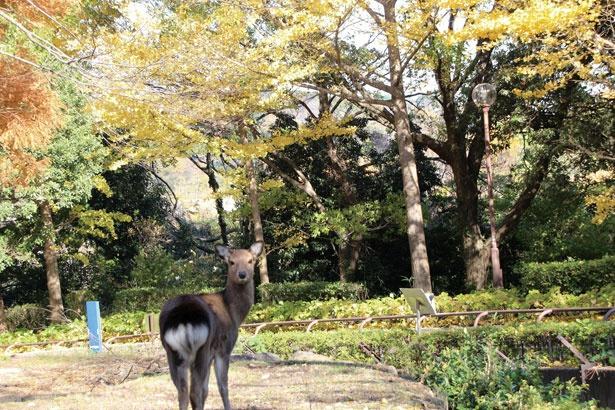 多種多様な動物と紅葉の共演が魅力の横浜市立金沢動物園。写真はユーラシア区のエリアにいるホンシュウジカ。ふり返る姿がかわいらしい