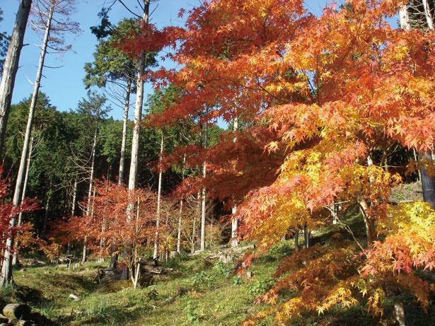 池峯 もみじの郷は11月下旬から見ごろを迎えるが、12月に入ってからも楽しめるのがうれしい