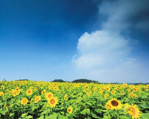 丘の上にあるため、パノラマでヒマワリ畑を満喫できるのが魅力だ