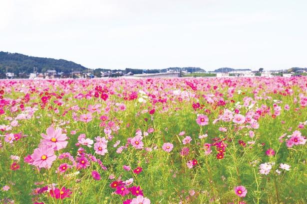 コスモス畑を周遊する名物の「花トラ車」(1回200円)で優雅に観賞するのもおすすめ