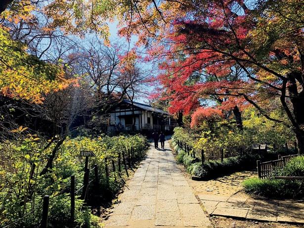 日蓮宗 本山本土寺の敷地内では「山もみじ」「大盃」「秋山紅」の3種類のモミジが楽しめる