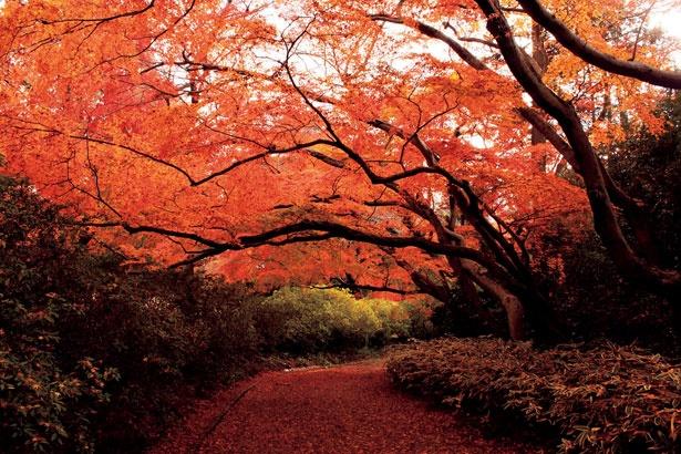 清水公園のもみじ谷に植えられているのは、名の通りモミジが中心 なので、紅葉すると燃えるような色に色づく。深紅のトンネルは圧巻