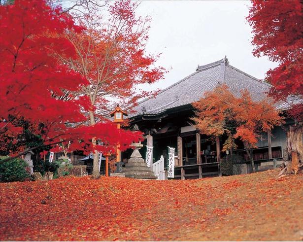 紅葉が境内を赤く染める/犬山寂光院