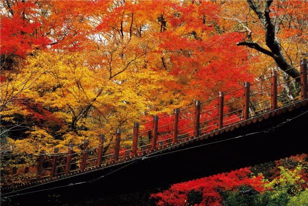 つり橋から見る紅葉が見事な花貫渓谷。つり橋の上に突き出たモミジの落ち葉が積もり、渡し板を紅葉のカーペットのように彩る