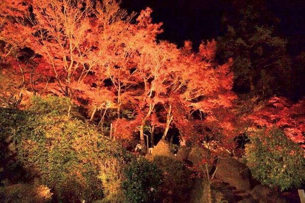 闇夜に映える、筑波山の美しい紅葉。ライトアップ期間は夜間もケーブルカーが運行する