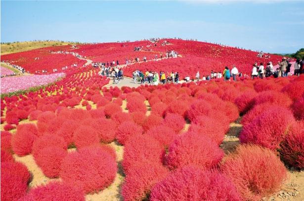 国営ひたち海浜公園の「みはらしの丘」を、コキアがびっしりと埋め尽くす。コキアのほかにコスモスも咲き誇り、丘を鮮やかに彩る