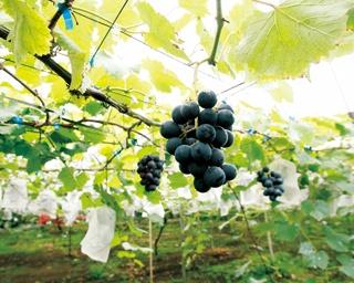 湯浅農園 / 400本のナシを栽培