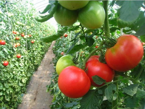 6~9月にかけて開かれる「オーガニックトマトもぎ取り園」は、毎年2万人もの人が訪れる