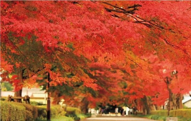 大山参道は明るい時間の紅葉も見事だが、ライトに照らされた夜のモミジは幻想的で美しい
