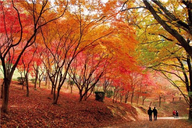 モミジとユリノキが谷を色鮮やかに彩る、織姫公園のもみじ谷