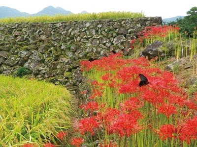 蕨野の棚田 / 9月下旬にはヒガンバナとのコラボレーションが楽しめる