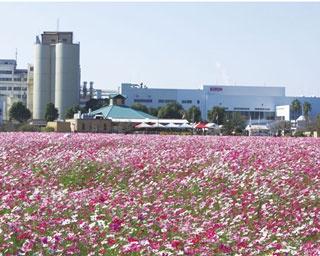 キリン花園 / 広大な敷地にコスモスが咲き誇る