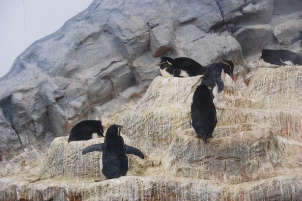 【写真を見る】旭山動物園/抱卵中のイワトビペンギン(2018年5/23撮影)