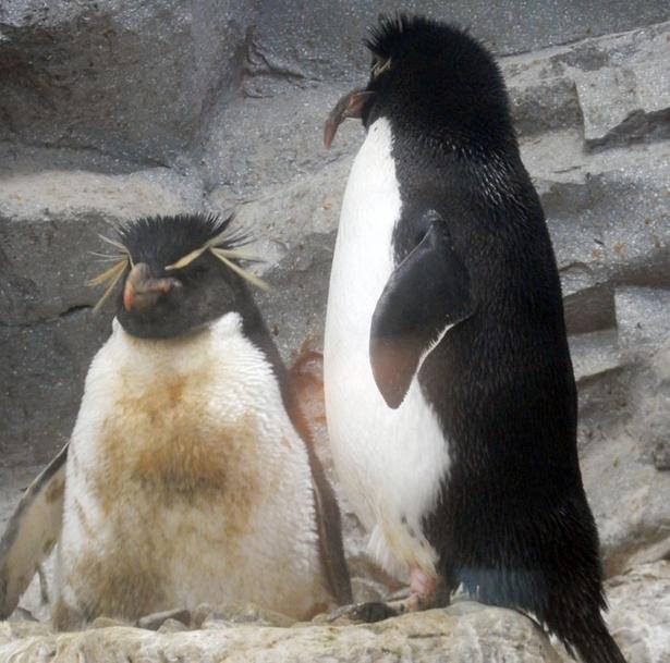 旭山動物園/抱卵中のイワトビペンギン(2018年5/20撮影)