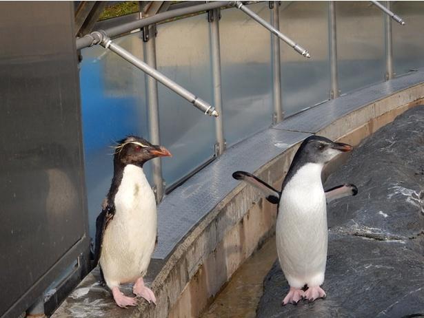 旭山動物園/イワトビペンギン、右がヒナ、左が親(2018年8/20撮影)