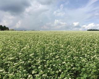 波野のそば畑 / 6万5000平方メートルの広大な土地に700万本の秋そばの花が咲き乱れる