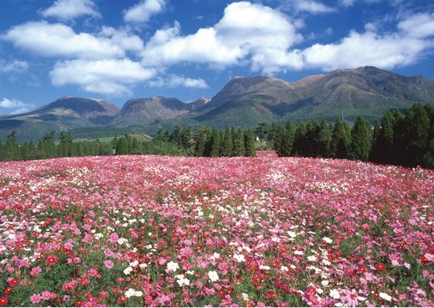 くじゅう花公園 / 10月に見ごろを迎えるコスモス。丘一面をピンクに埋め尽くす光景は、まさに秋の風物詩