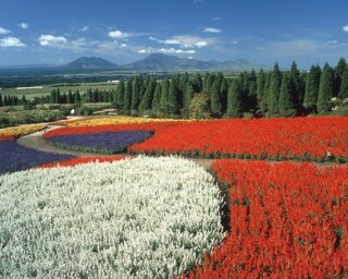 くじゅう花公園 / くじゅう連山を背に広がる4万株の鮮やかなサルビア