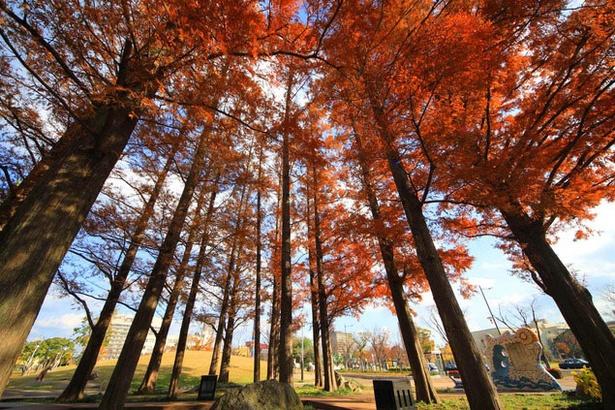 勝山公園(小倉城) / まっすぐに伸びる紅葉