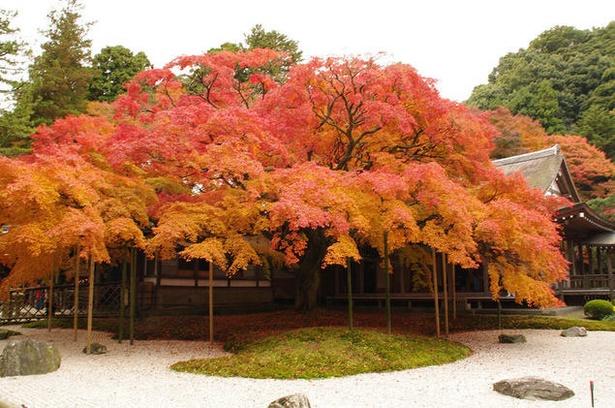 雷山千如寺大悲王院 / 大きなカエデの木が美しい