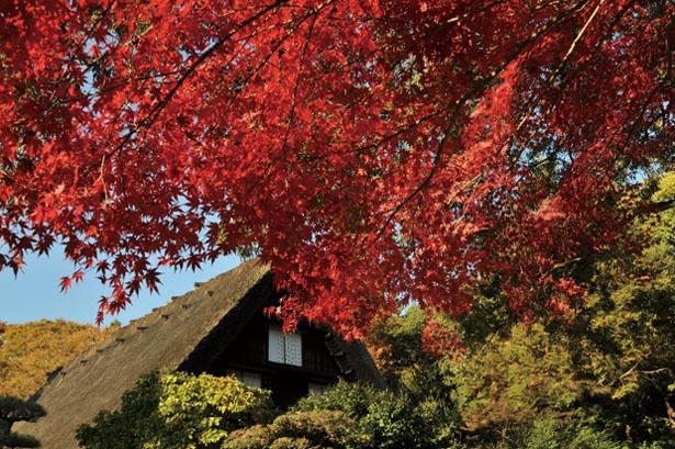 合掌造り集落の紅葉の風景がここに