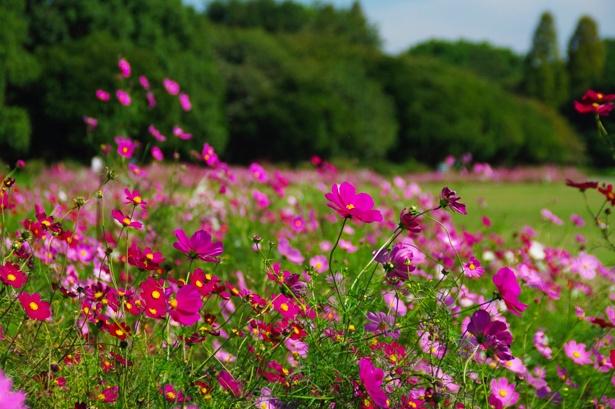 庄内緑地(@shonai_ryokuchi)では、約2万8000株が咲き誇るコスモスが見ごろを迎える