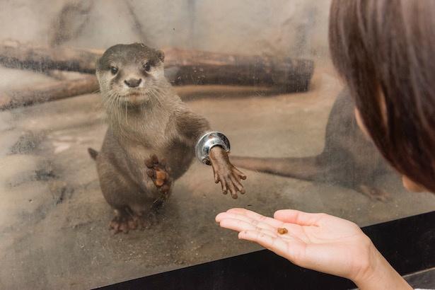 【写真を見る】人気のコツメカワウソの握手付き餌やり体験