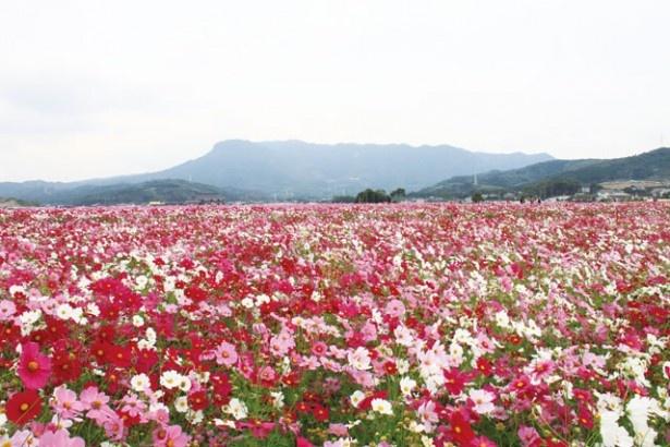 秋の彩りを楽しむ!九州のおすすめコスモススポット4選