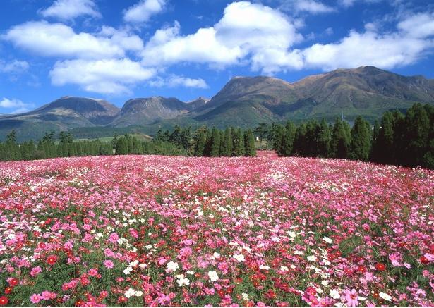 くじゅう花公園 / 約100万本のコスモスが丘を埋めつくす