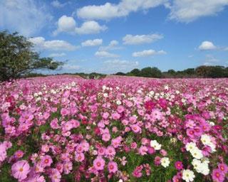 三光コスモス園 / 一面をピンクや白で埋め尽くす