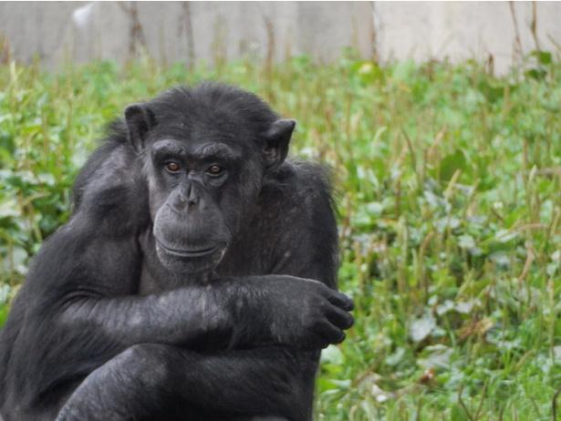 声を上げて笑う? 旭山動物園でチンパンジーの顔をじっと観察すると…