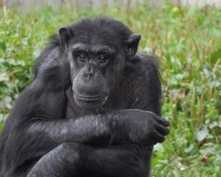 旭山動物園/屋外放飼場で何かを見ているようなチンパンジー