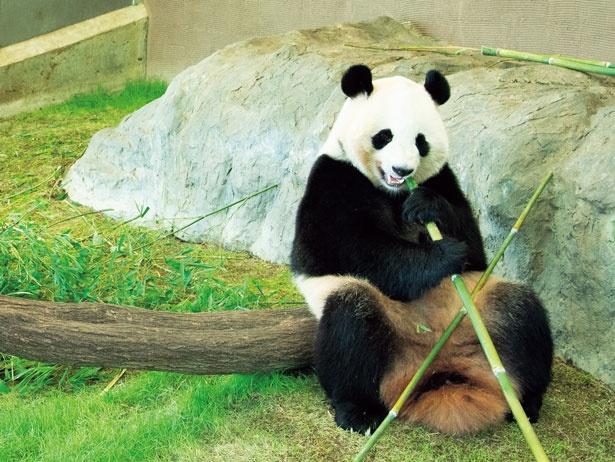 """次々生まれる""""赤ちゃんパンダ""""繁殖成功の秘密はイケメン父ちゃん?「アドベンチャーワールド」で聞いた"""