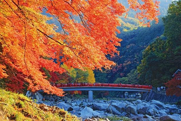 待月橋の飯盛山側の岸は、五色もみじと呼ばれるモミジがあり、徐々に色付く様が見られる