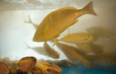 店内の生いけすにはピチピチの魚が/魚食処 一豊 道修町本店