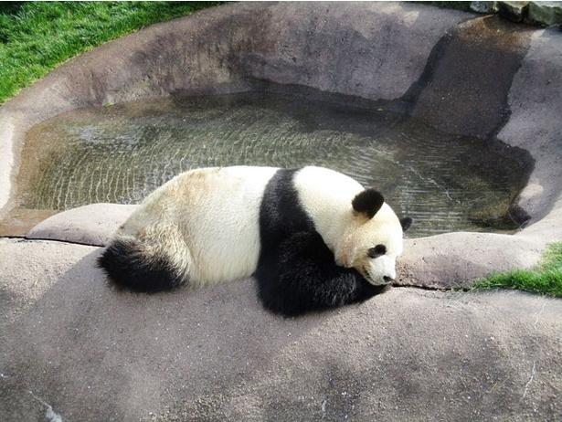 「旅好きが選ぶ!日本の動物園・水族館ランキング2018」動物園部門1位 アドベンチャーワールド/和歌山県白浜町