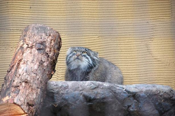 最古のネコに百獣の王子? 旭山動物園にやってきた注目の動物たち!