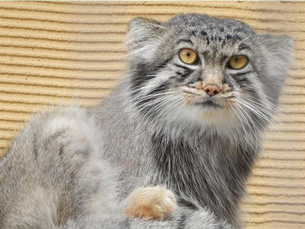 【写真を見る】旭山動物園/瞳孔は丸いまま収縮するマヌルネコ