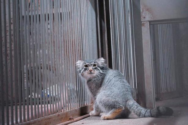 旭山動物園/マヌルネコ(バックヤードで撮影)