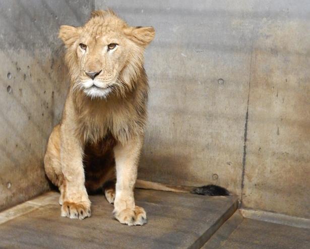 旭山動物園/ライオンのオリト(バックヤードで撮影)