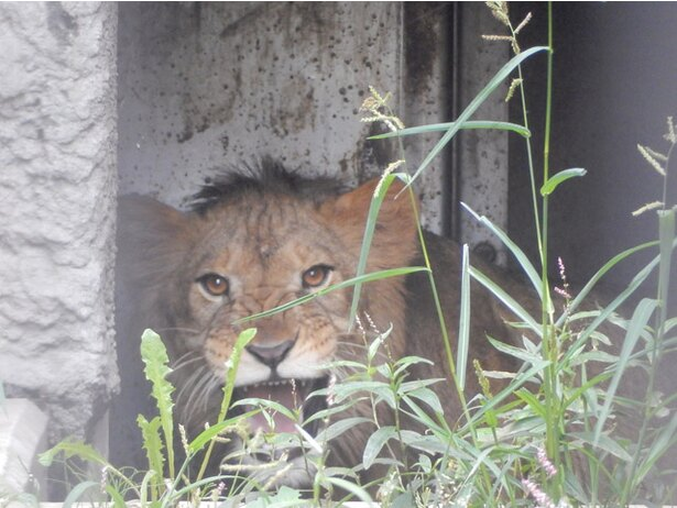 旭山動物園/放飼場に出る訓練初日のライオン「オリト」(2018年8/27撮影)