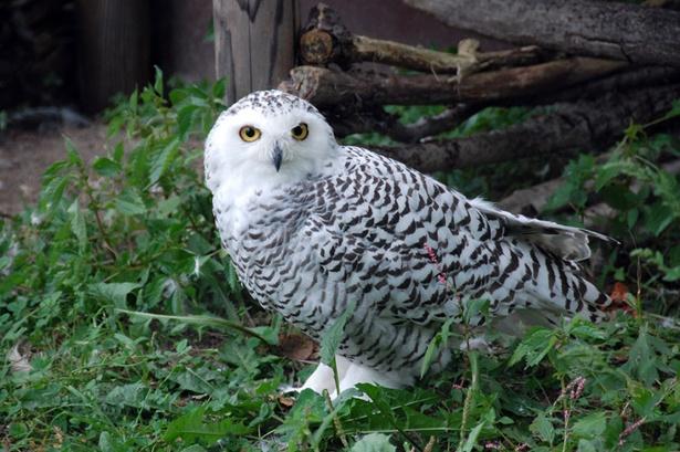 旭山動物園/シロフクロウのメス