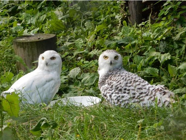 旭山動物園/シロフクロウのオス(写真左)とメス(右)