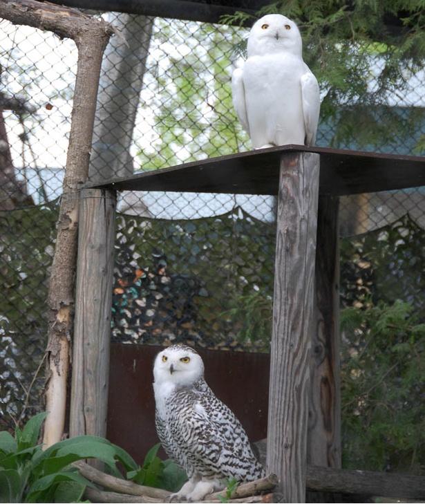 旭山動物園/シロフクロウ舎(上がオス、下がメス)