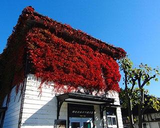 樹齢150年以上のケヤキ並木!山形県・山居倉庫の紅葉が間もなく見頃
