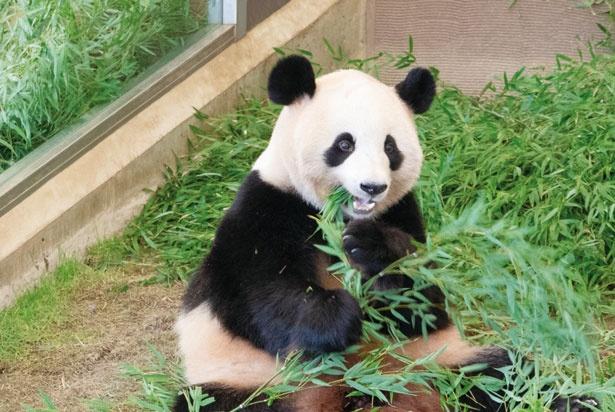 竹を食べたり床をゴロゴロ転がってみたりと、自由に動き回るパンダはずっと見ていても飽きない。アドベンチャーワールドでは赤ちゃんパンダも誕生!