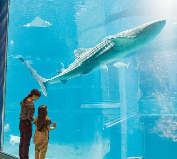 太平洋の雄大な光景を深さ9メートル、最長34メートルの大水槽で表現。2匹のジンベエザメやアジなどの回遊魚が悠然と泳ぐ姿を見られる