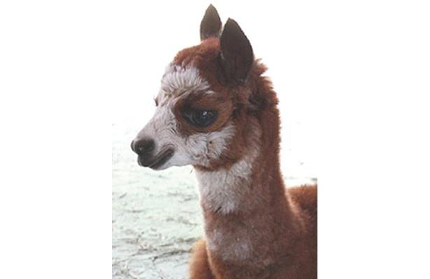 【写真】アルパカの赤ちゃんをはじめ、キュートな動物の赤ちゃんの画像はコチラ