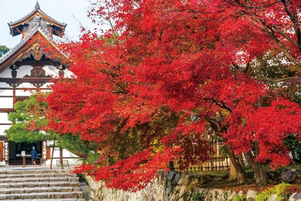 参道から庫裏と紅葉を眺める玄関の達磨図にも注目を/天龍寺