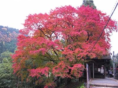 大きなカエデの木が綺麗な二ノ瀬駅のホーム/叡山電車きらら (叡山電車鞍馬線)